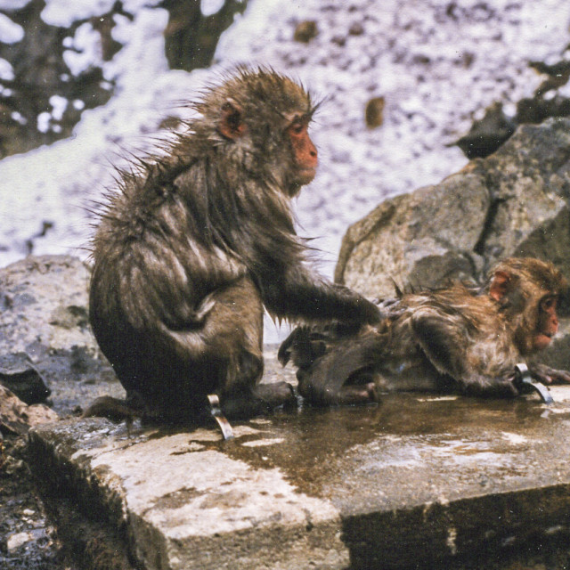 """""""Macaques in hot spring"""" stock image"""