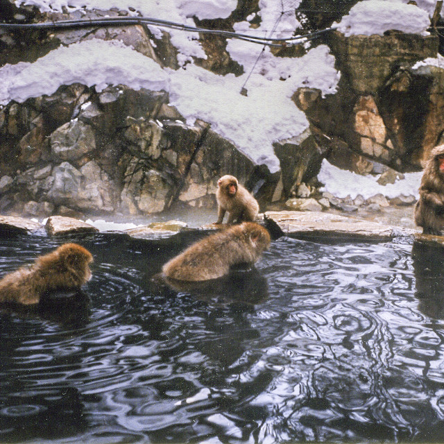 """""""Macaques bathing in hot spring"""" stock image"""