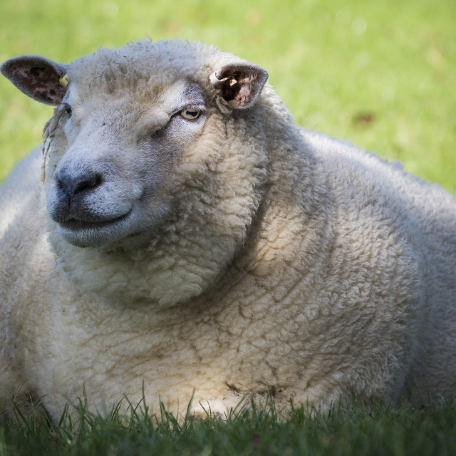 """Sheep sitting in lush farmland in evening sunshine"" stock image"