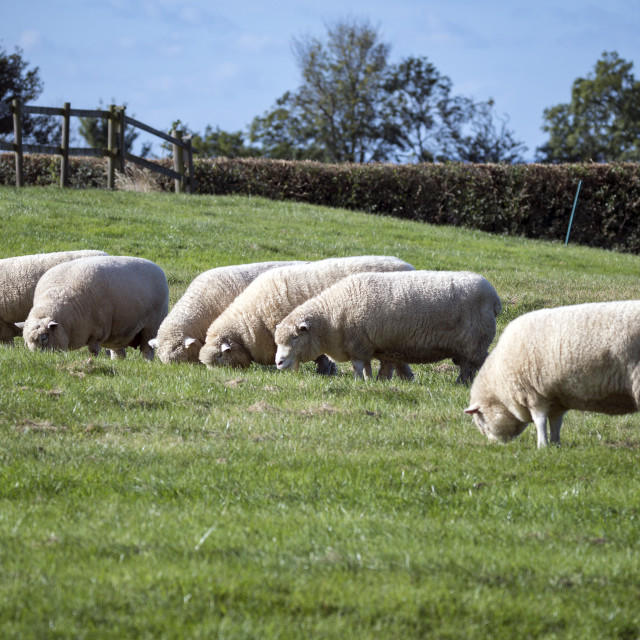 """""""Several sheep grazing in field in rural setting"""" stock image"""