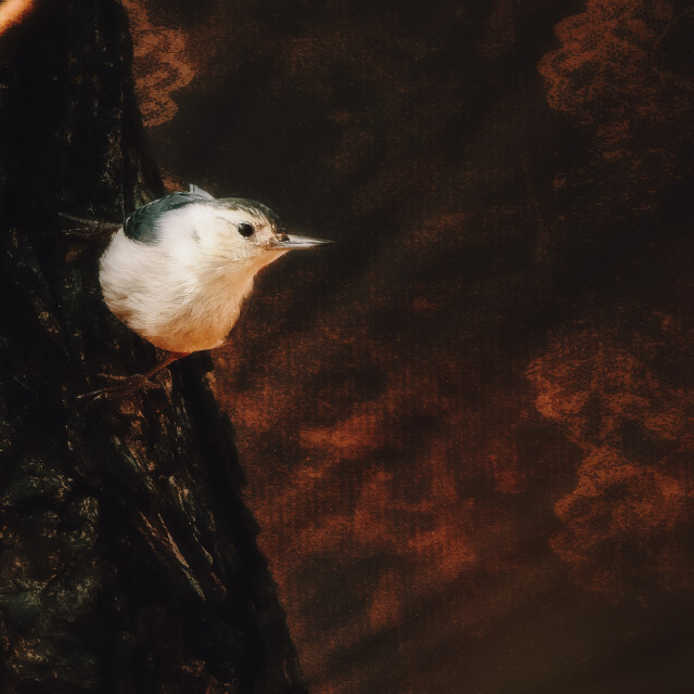 """""""The Nuthatch"""" stock image"""