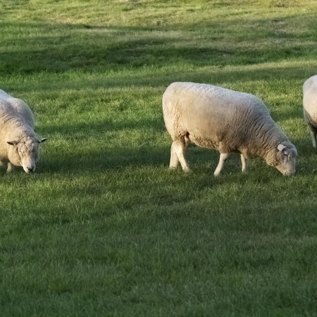 """Sheep grazing in sunlight on lush pasture"" stock image"