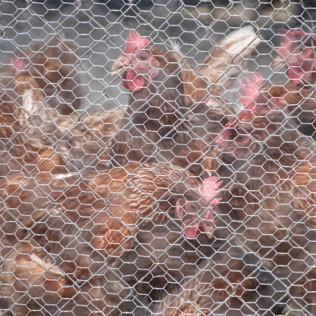 """""""Chickens"""" stock image"""