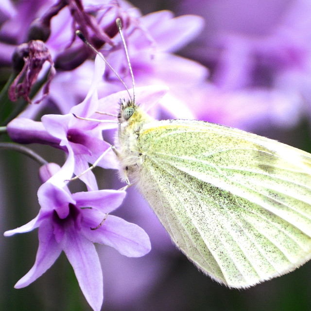 """""""Butterfly feeding"""" stock image"""