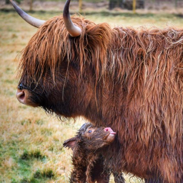 """Mum and calf"" stock image"