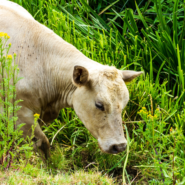 """""""Cow looking for water"""" stock image"""