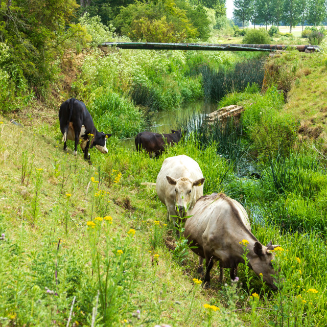 """""""Cows on the Water Meadows, Towcester"""" stock image"""