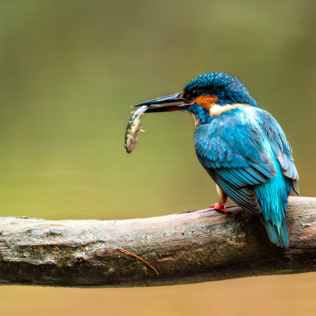 """""""Kingfisher with a fish"""" stock image"""