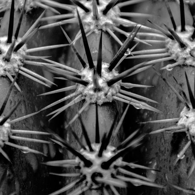 """Saguaro spines"" stock image"
