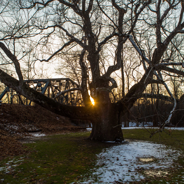 """""""Pinchot Sycamore, the largest tree in Connecticut"""" stock image"""