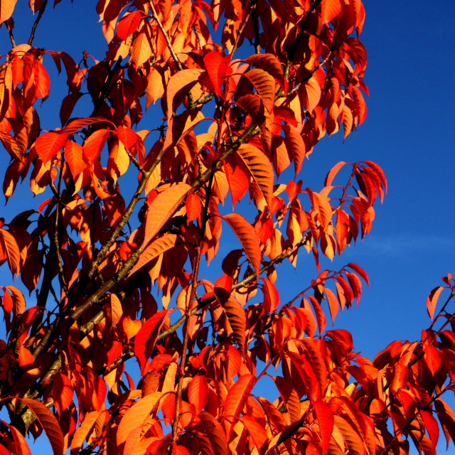 """""""Autumn Colours on a tree"""" stock image"""
