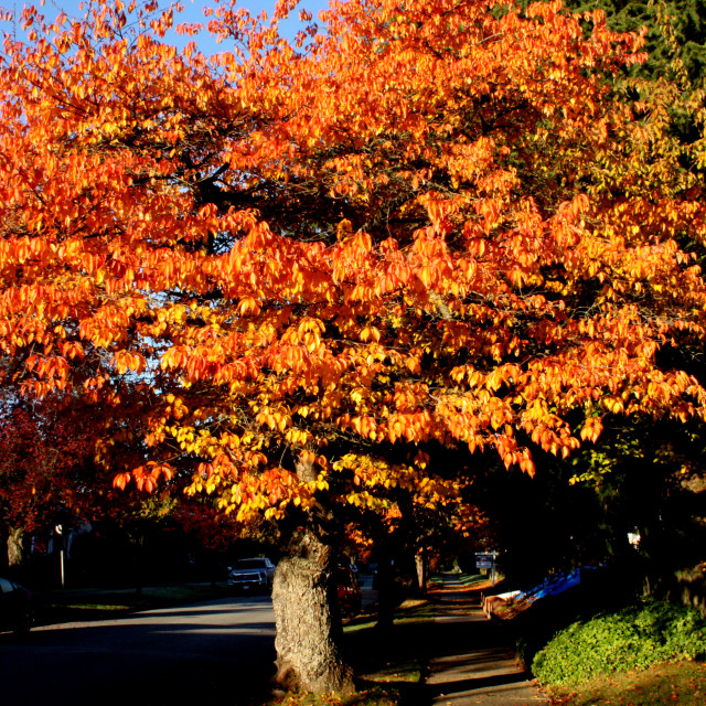 """""""Autumn leaves in Vancouver"""" stock image"""