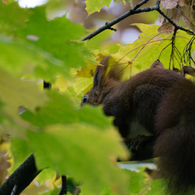 """""""A squirrel on a tree with green leaves"""" stock image"""