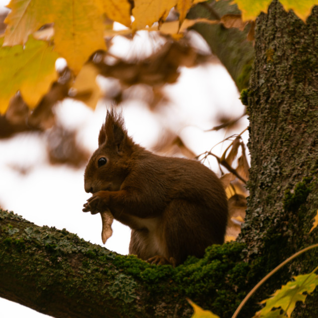 """""""Squirrel eating on a tree"""" stock image"""