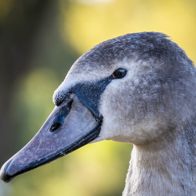 """Cygnet on the banks of The River Cam."" stock image"
