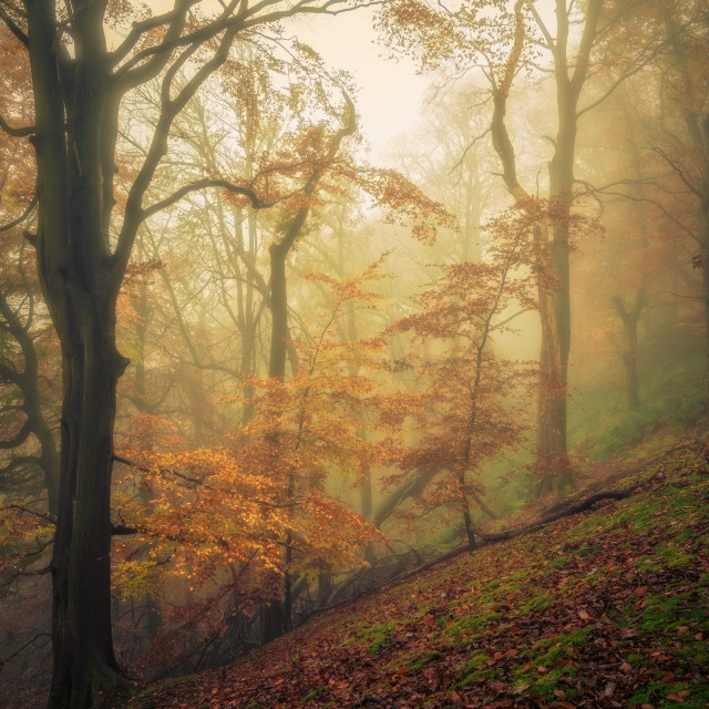 """Young Beech, Strikes Wood, Nidderdale"" stock image"