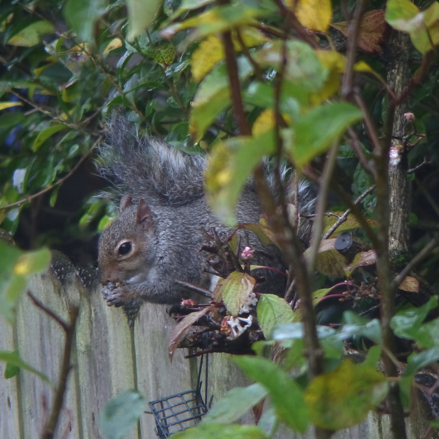 """""""Grey Squirrel eating on a garden fence"""" stock image"""