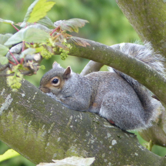 """""""Grey Squirrel on Beech tree branch"""" stock image"""