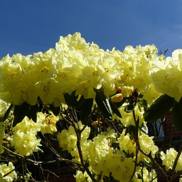 """""""Yellow Rhododendron in Spring sunshine"""" stock image"""