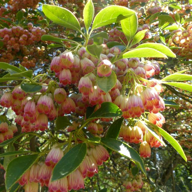 """""""Enkianthus campanulatus flowers"""" stock image"""