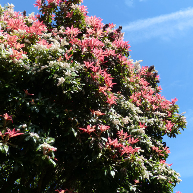 """""""A Pieris Forest Flame reaches for the sky"""" stock image"""