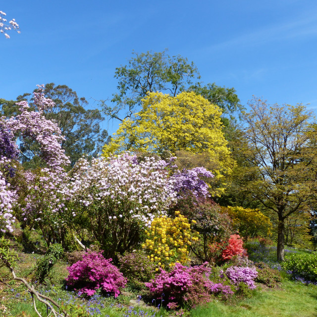 """Rowallane Gardens Rhododendron Walk 3"" stock image"