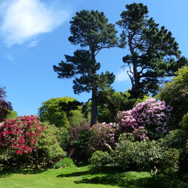 """Rowallane Gardens Rhododendron Walk 6"" stock image"