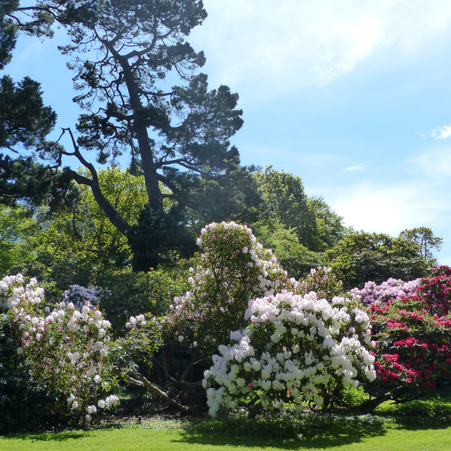 """Rowallane Gardens Rhododendron Walk 7"" stock image"