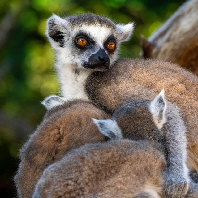 """Portrait of Ring-tailed lemur with a baby"" stock image"