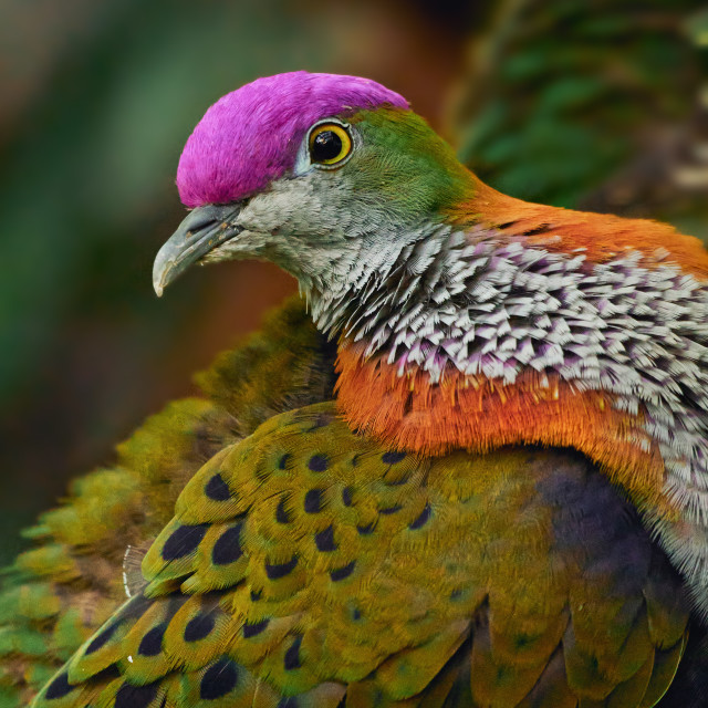 """Superb Fruit Dove"" stock image"