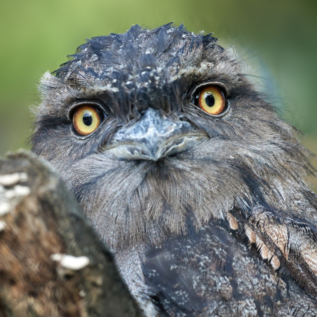 """Tawny Frogmouth Closeup"" stock image"