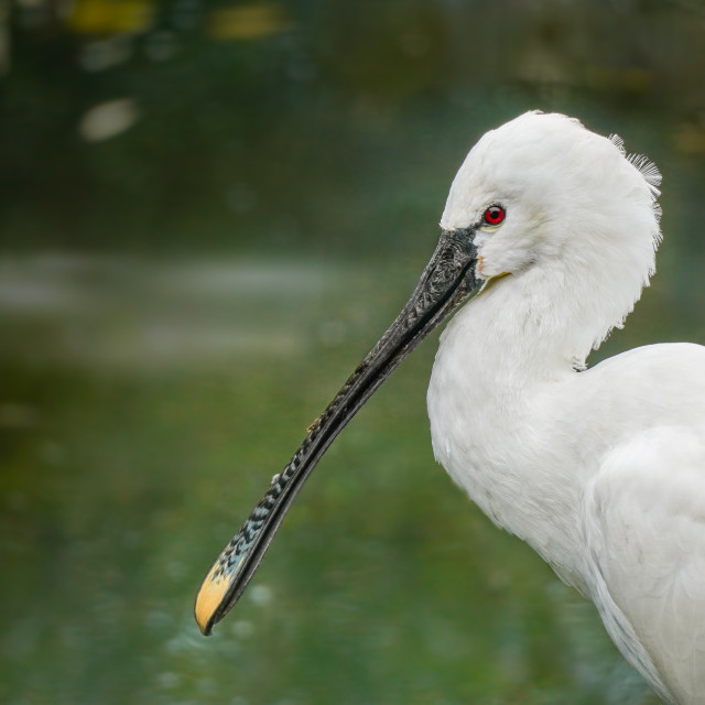 """Autumn White Eurasian Spoonbill with the Fog"" stock image"