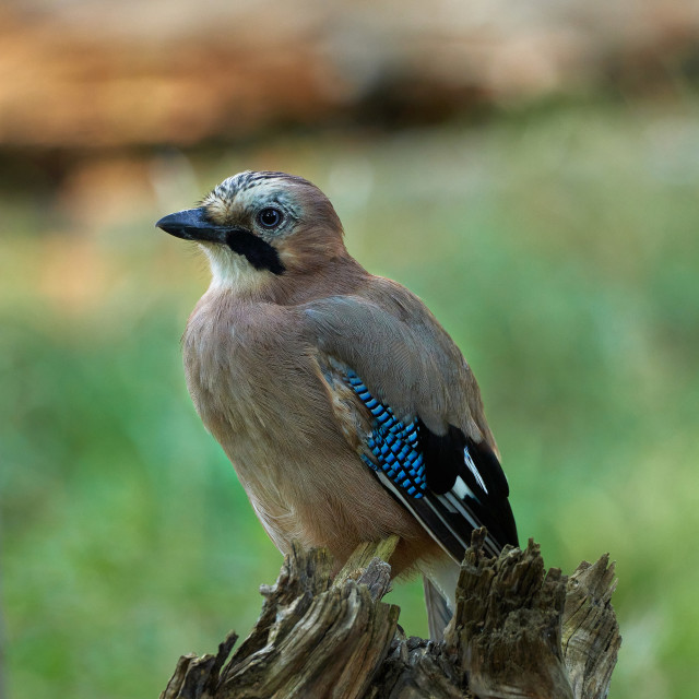 """Eurasian Jay on a green background"" stock image"