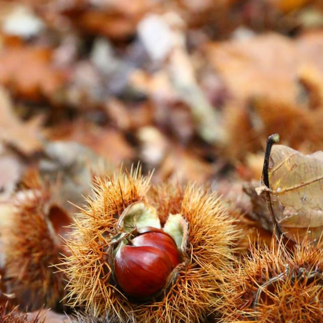 """Chestnut"" stock image"