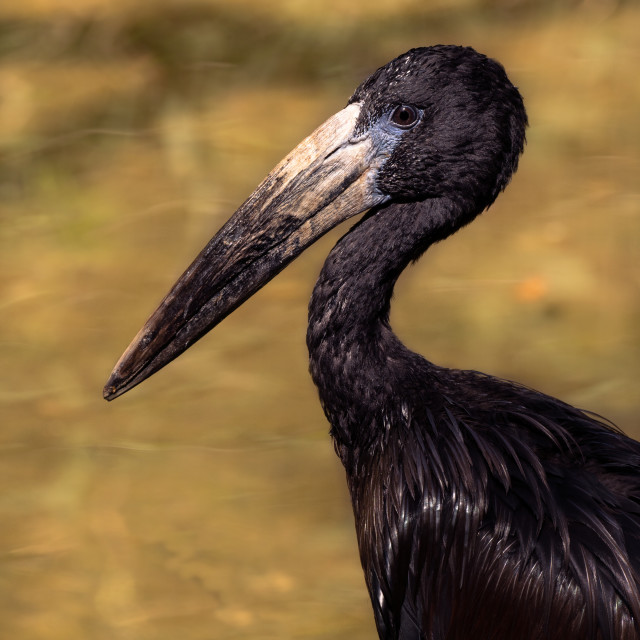"""Portrait of the Black African Openbill on the yellow background. Anastomus lamelligerus."" stock image"