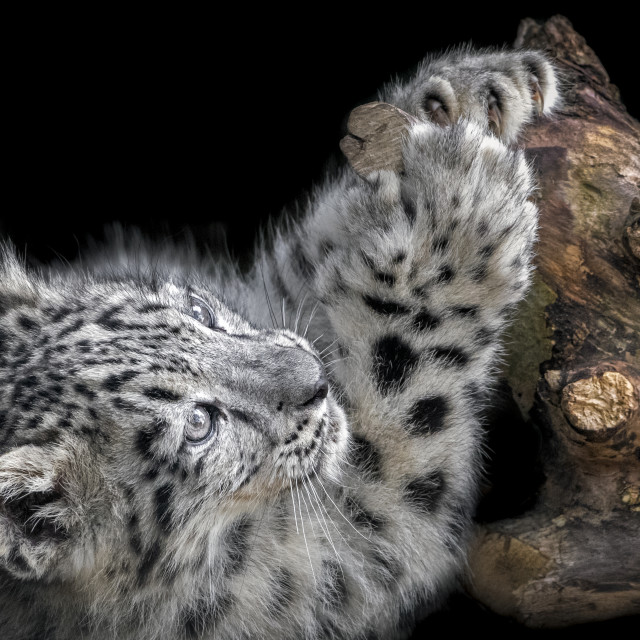 """Male snow leopard cub (three months old)"" stock image"