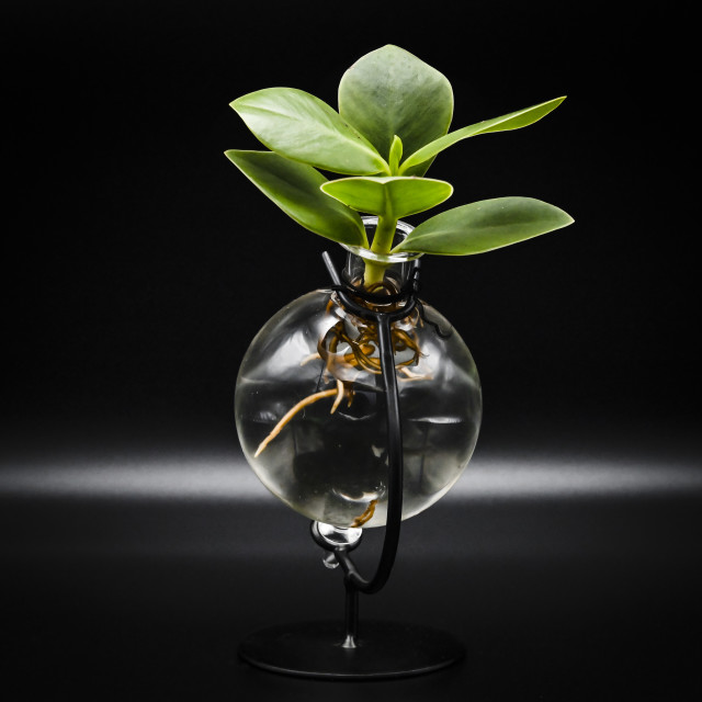 """""""A plant with roots visible in water"""" stock image"""