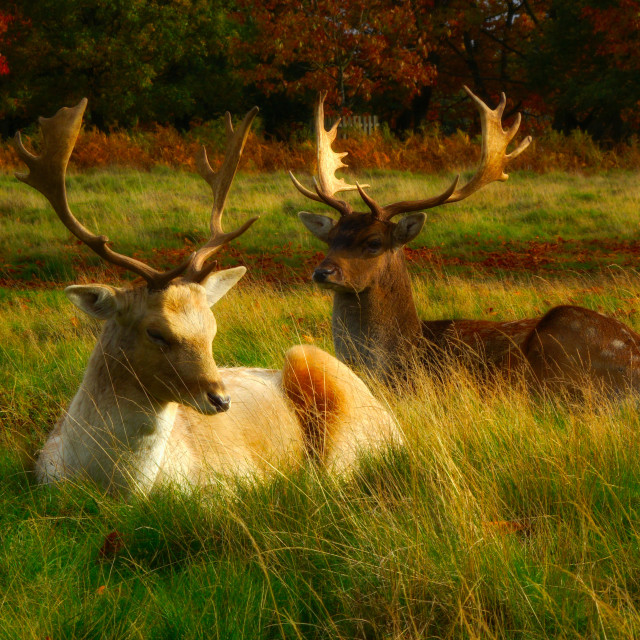 """""""Two Male Deer Lying Down"""" stock image"""