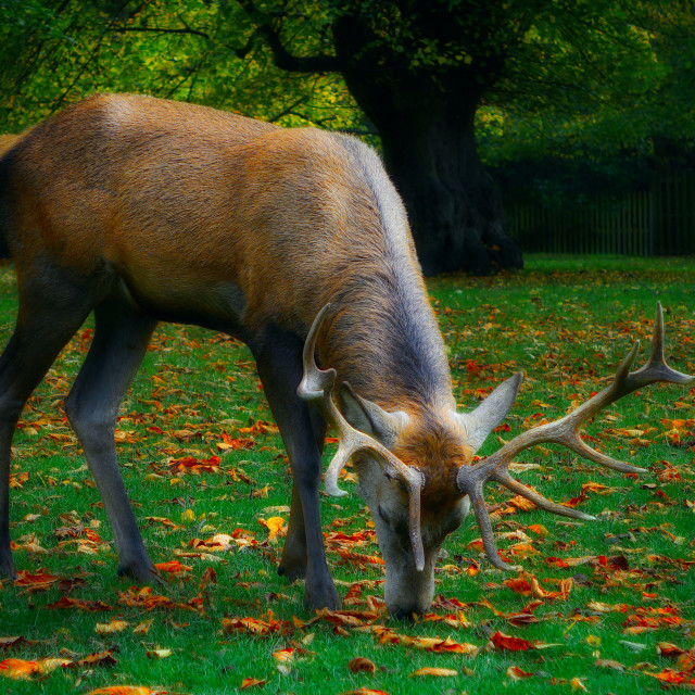 """""""Red Stag Nibbling Grass"""" stock image"""