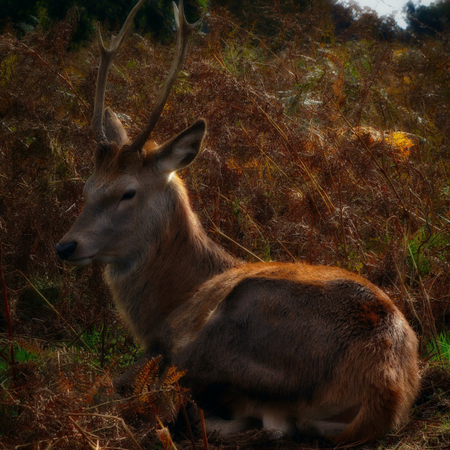 """""""Red Stag Sitting Down"""" stock image"""