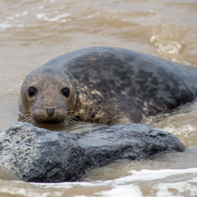 """""""Inquisitive Grey Seal"""" stock image"""
