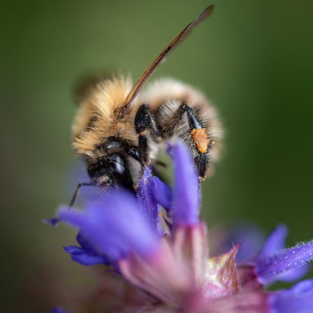 """Bee feeding on blue flower."" stock image"