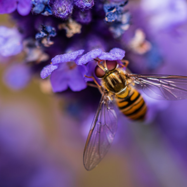 """Hoverfly feeding on blue flower."" stock image"