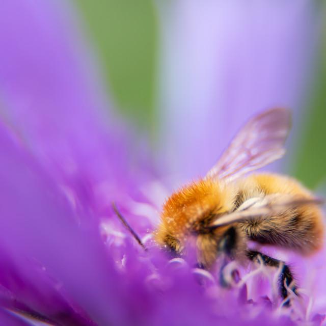 """Bee feeding on purple flower."" stock image"