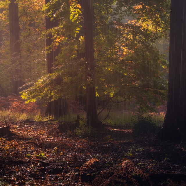 """Sunny autumn woodland with rain falling."" stock image"