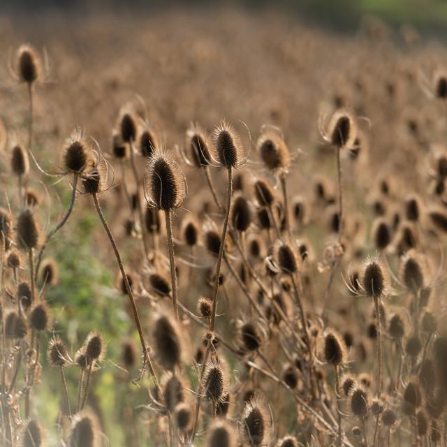 """Dipsacus fullonum. Field of backlit teasels."" stock image"