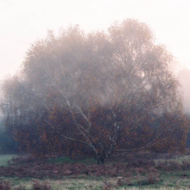 """Large silver birch tree with autumn leaves on misty morning."" stock image"