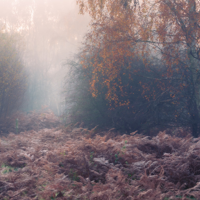 """Silver birch trees and rusty bracken on misty autumn morning."" stock image"