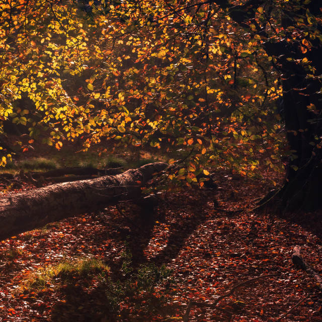 """Backlit autumn beech tree and fallen tree."" stock image"