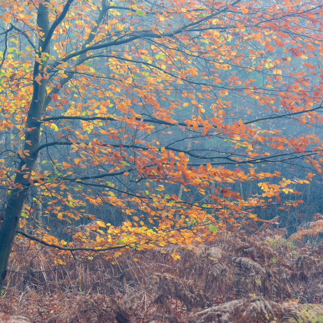 """Young backlit beech tree with autumn leaves."" stock image"